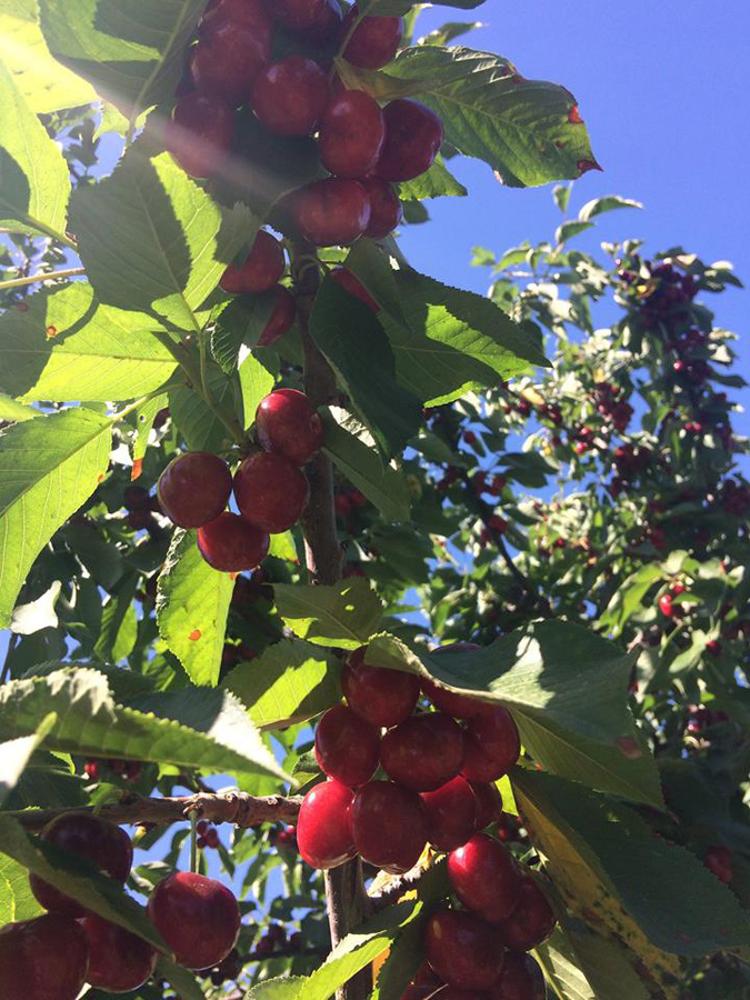Ripe Lapin cherries