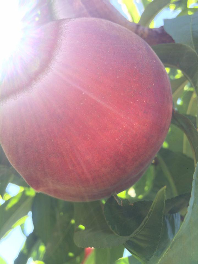 Sun-glazed White Peach
