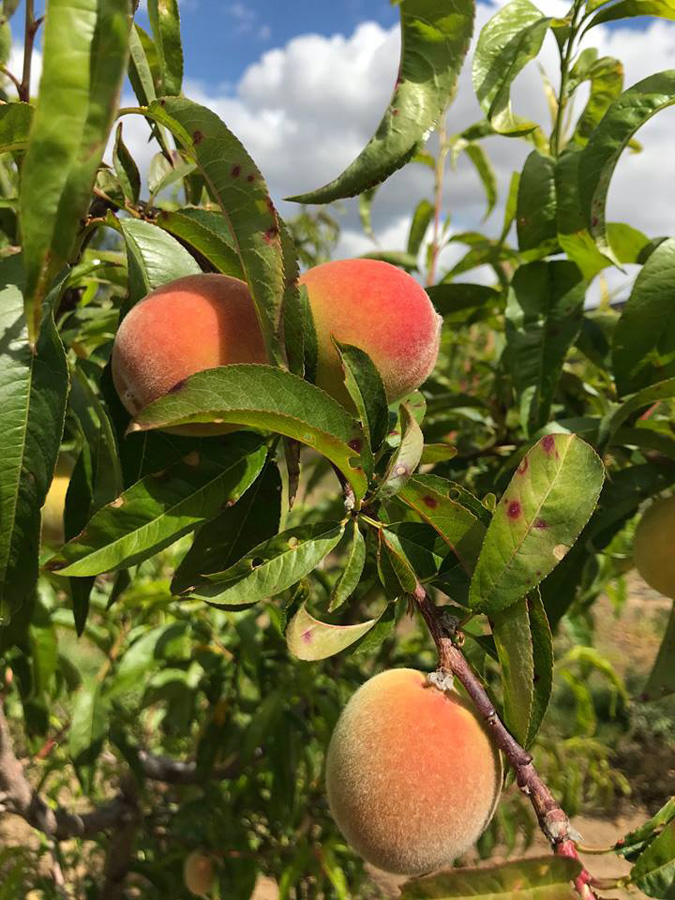 Early yellow peach