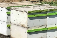 Bees in their boxes, busy at work in the orchard