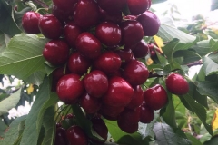 Truly ripe Lapin cherries