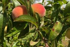 Early yellow peach