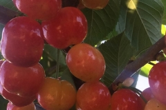 White Rainier Cherries